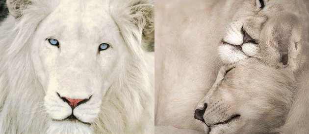 Sacred African Sites - White Lion's of Timbavati Tour